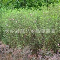 供应高80-120cm木槿