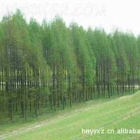 供应水杉树