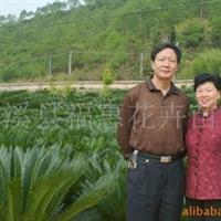 大量供应铁树、桂花、罗汉松等(闽北较大铁树桂花罗汉松基地)