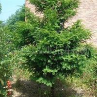 供应四季桂、八月桂、铁树、广玉兰、银杏、楠木等