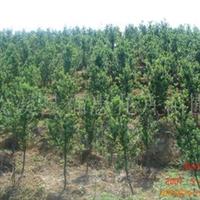 大量供应铁树、八月桂、四季桂、罗汉松、日本樱花、广玉兰等