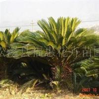 大量供应铁树、银杏、罗汉松、桂花(闽北较大的铁树生产基地)