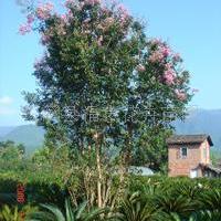 供应杜英、铁树、樟树等乔木灌木(闽北较大铁树生产基地)