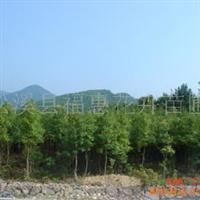大量供应铁树、桂花、罗汉松等绿化苗木(闽北较大铁树基地)