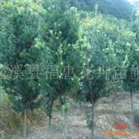 大量供应罗汉松、铁树、樟树、桂花(闽北较大铁树生产基地)