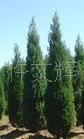 园林绿化苗木,油松苗,批发供应带营养袋油松小苗,果树苗木