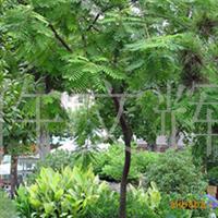 园林绿化苗木,合欢绿化苗木,合欢苗木,合欢树,合欢