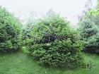 供应云杉苗,绿化苗木云杉,园林云杉小苗