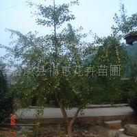供应银杏、苏铁、桂花等乔木灌木(闽北较大铁树生产基地)