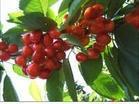 供应优质樱桃种子 ,新鲜野樱桃种子