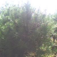 供应1-1.5米白皮松,供应优质园林绿化白皮松,供应行道树白皮松