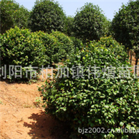 专业批发供应大量优质园林绿化灌木茶花【图】