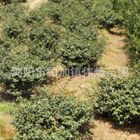 专业批发供应大量优质园林绿化灌木茶梅