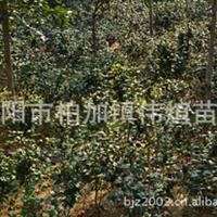 批发供应大量优质灌木茶花  成活率高