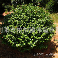 专业批发供应大量优质灌木茶花