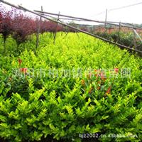 供应优质常绿灌木金丝黄杨 适应能力强