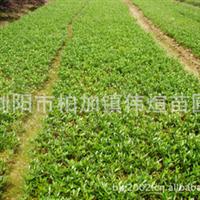 专业供应大量品质常绿性灌木小叶桅子