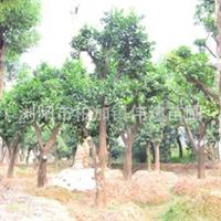 批发供应大量柚子树  成活率高产量可观