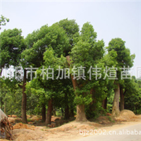 专业批发采购大量绿化乔木香樟 实物拍摄参考
