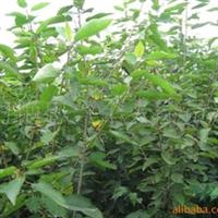 供应樱桃苗木  成活率高  收益好