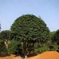 厂家批发造型优美工程灌木丹桂