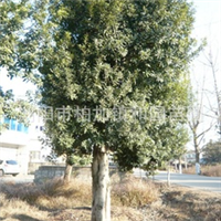 供应绿化优美工程乔木—— 杨梅