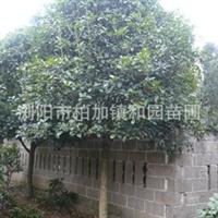供应绿化工程苗木乔木——四季桂——八月桂——丹桂