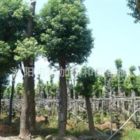供应造型优美工程常绿乔木  香樟