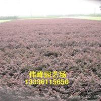 供应大量优质优惠红花继色块工程苗