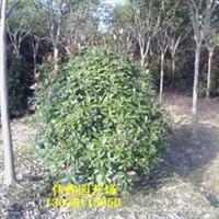 大量供应优质优惠红叶石楠球工程绿化苗