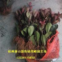 供应大量优质价优红叶石楠扦插小苗