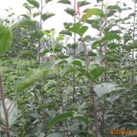 大量供应苹果树苗   品质好  质量一流   价格低