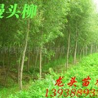 馒头柳,绿化苗木,乔木,花灌木,灌木
