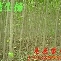 速生杨,杨树,绿化苗木,乔木,花灌木,灌木
