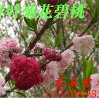 优质大规格青叶菊花碧桃,绿化深夜草莓视频app下载,花灌木,乔灌木