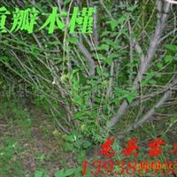 木槿,重瓣木槿,绿化苗木,乔木,花灌木,灌木