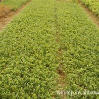 厂家直销  造型优美工程灌木小叶栀子花