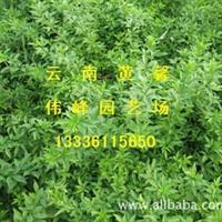 大量供应优质丛生色块工程云南黄馨