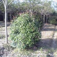 现货供应大量优质,优惠树型好的红叶石楠球