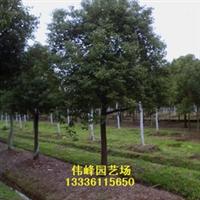 优惠供应大量优质香樟树