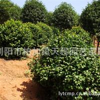 专业供应多品种茶花   观赏度高