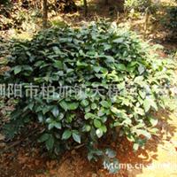 供应大量造型灌木茶梅【实图参考】