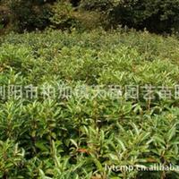 专业供应大量品质常绿性灌木法国冬青  实物拍摄参考