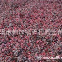 专业批发供应优质红继木 常绿性灌木