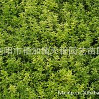 供应大量优质常绿性灌木六月雪小苗  价格合理