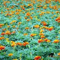 供应优质荷兰菊 地被植物(图)