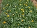 供应金鸡菊 优质金鸡菊 地被植物(图)