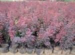供应红叶小檗 优质红叶小檗 优质绿化苗木(图)