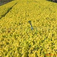 供应色块摆放及镶边植物彩叶草