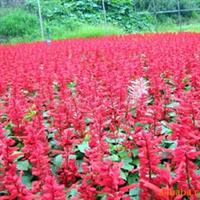 供应一串红、用于花坛、公园、花带、花境